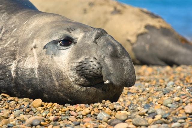 peninsula de valdes Elephant seals