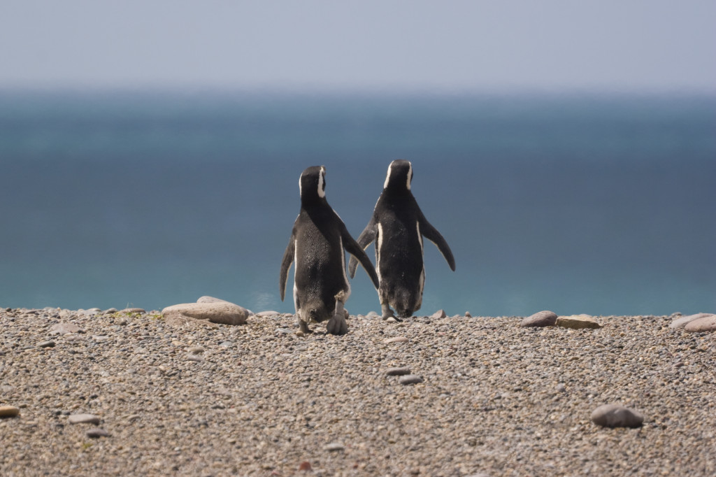 Penguins on a Patagonian Beach