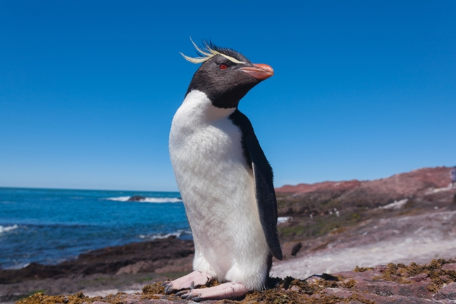 A Penguin in Argentina