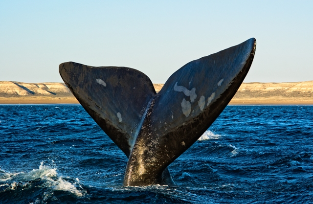 A whale in puerto madryn Argentina