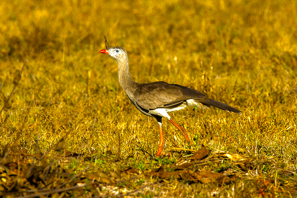 a Red-legged-Seriema