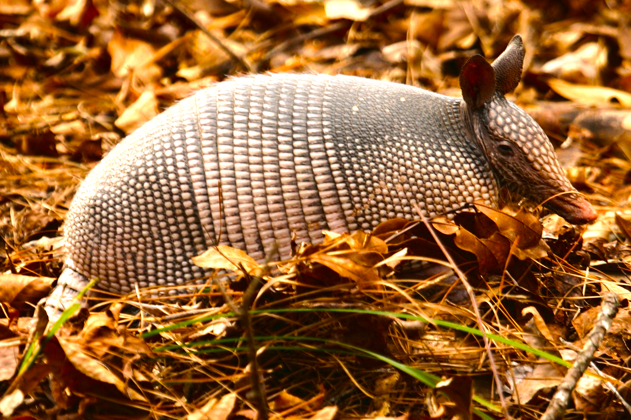 An Armadillo in Northern Argentina